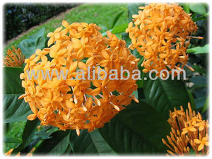 Ixora coccinea, Flame of the Wood, Jungle Flame