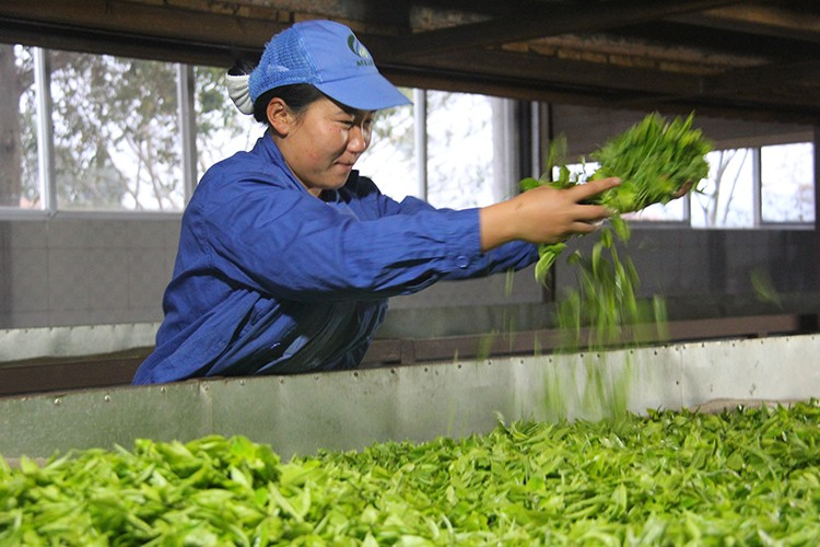 Cheap and good sweet honey organic high mountain yellow tea from yunnan - 4uTea   4uTea.com