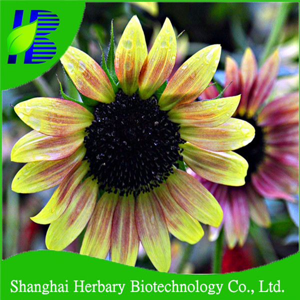 2018 Fresh flower seed Ornamental sunflower seeds for growing