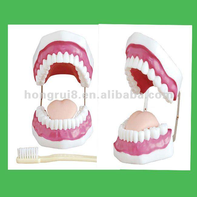 Cuidado Dental Model (28 Dientes),Cuidado,Cavidad Oral Modelo - Buy ...