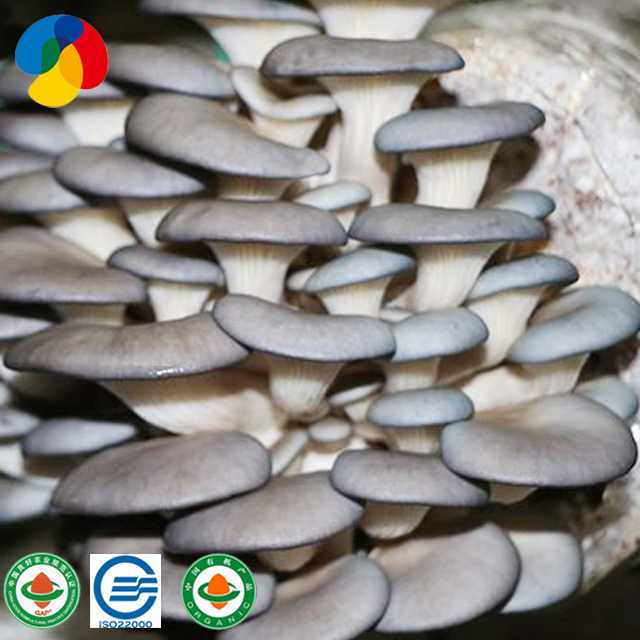 Qihe Cultivate High Yield Oyster Mushroom Spawn Export