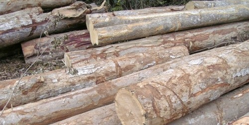 good quality and best price acacia rounded wood logs
