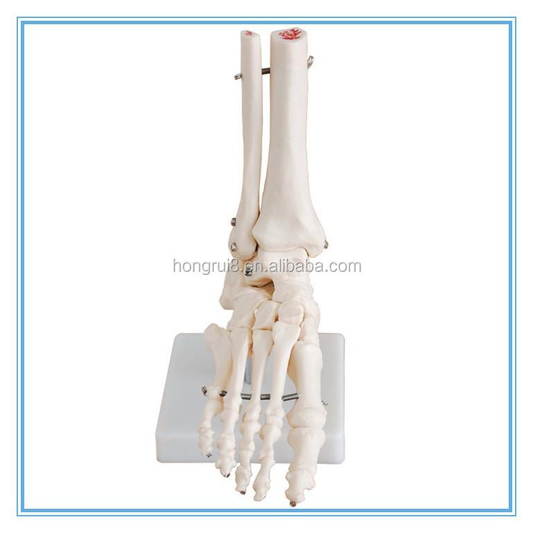 Großhandel fuss anatomie Kaufen Sie die besten fuss anatomie Stücke ...