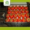 wholesale tomate concentree fresh tomatoes for sale from china