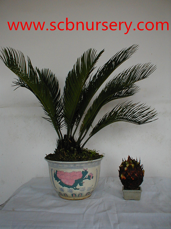 Cycas bonsai nursery