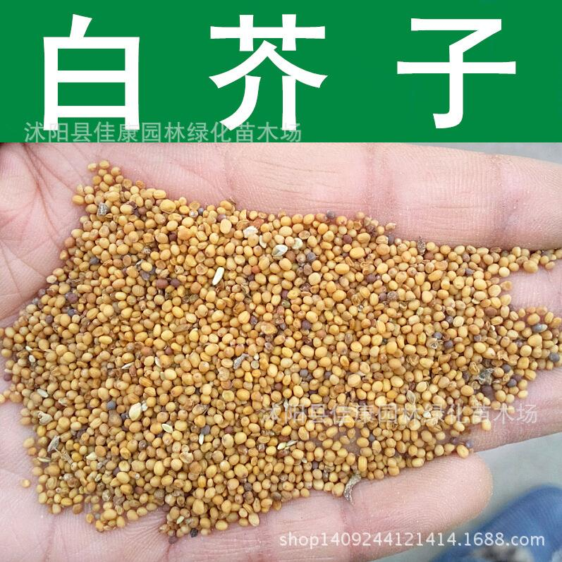 Herb Seed Rapeseed Spicy Spicy Herbs Freshly Collected