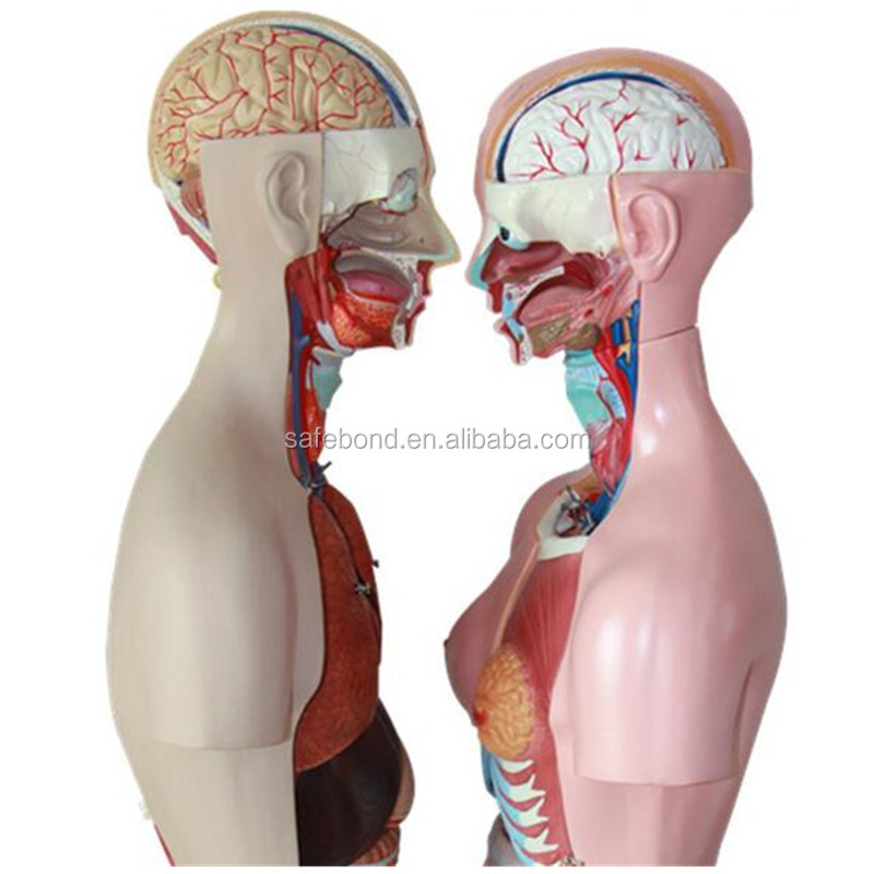 Half Body Human Anatomy Organs Model Buy Organs Modelanatomy