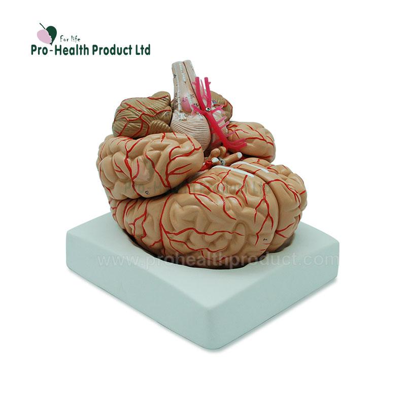 Human Brain 3d Brain Anatomy Model For Medical Teaching Buy Human