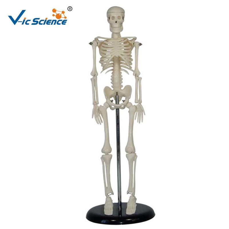 High Quality Medical Human Model Skeleton Model for Sale