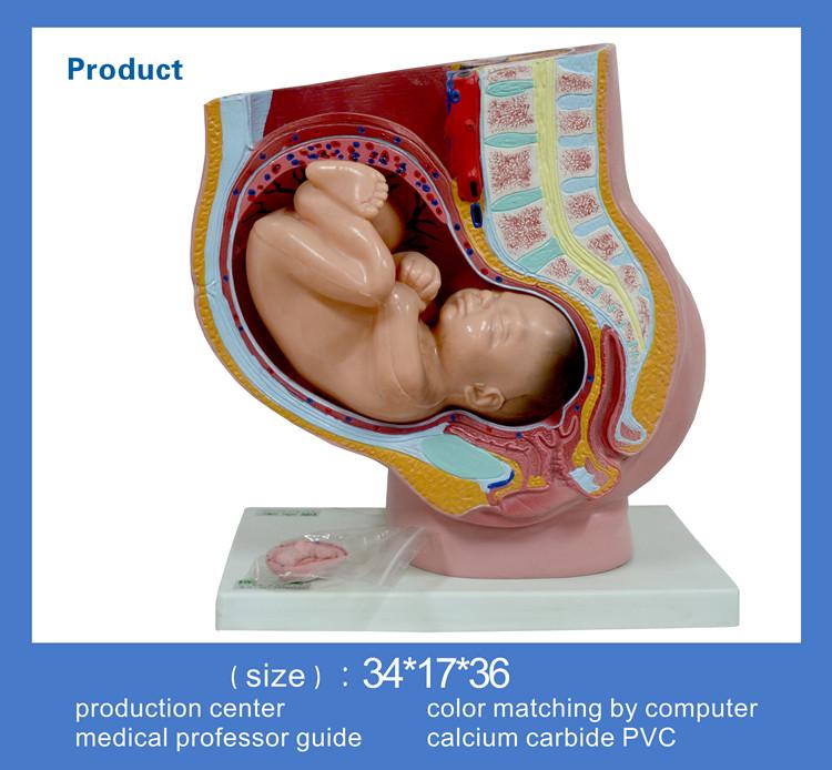 Pelvis Anatomía Humana Modelo Con Útero En El Noveno Mes De Embarazo ...
