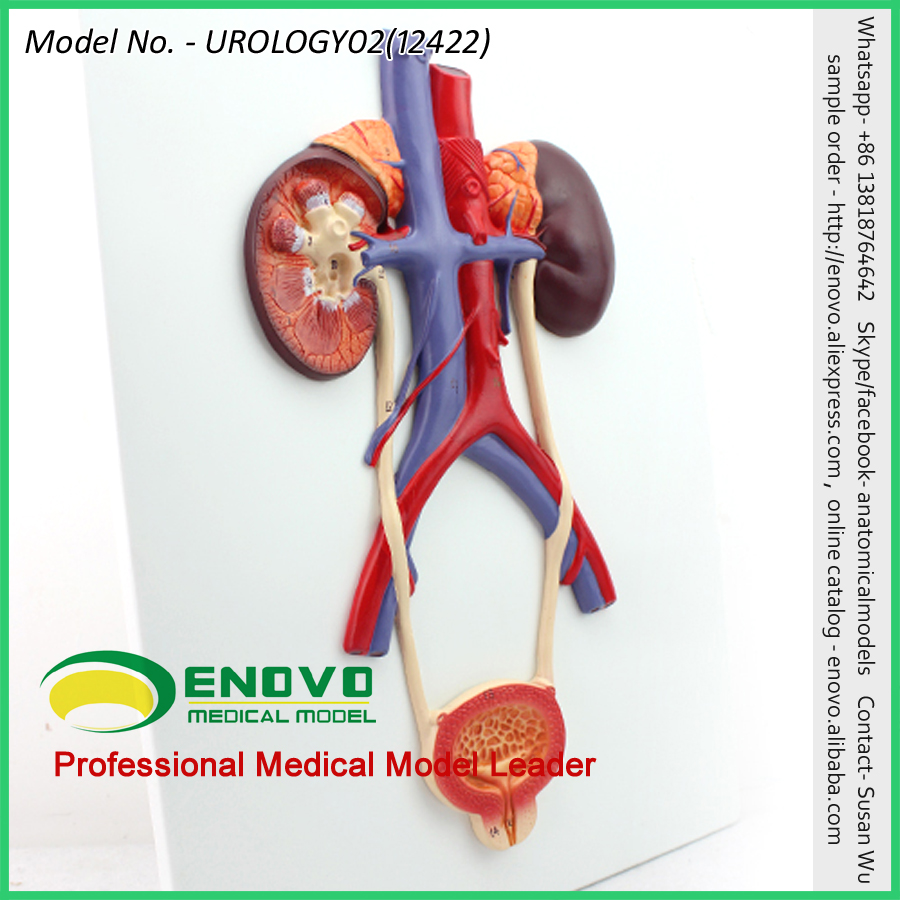 Vender 12422 humanos sistema Urogenital en placa de anatomía modelos ...
