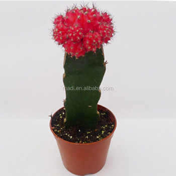 Mini colorful indoor cactus flowers succulent plants buy mini colorful cactus mini cactus - Indoor colorful plants ...