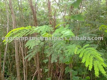 Acacia Leaf Meal Buy Acacia Mealacacia Leaf Mealacacia Leaves