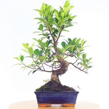 Ficus Microcarpa Mini Bonsai 15cm S Shape,Bonsai Trees Ficus ...