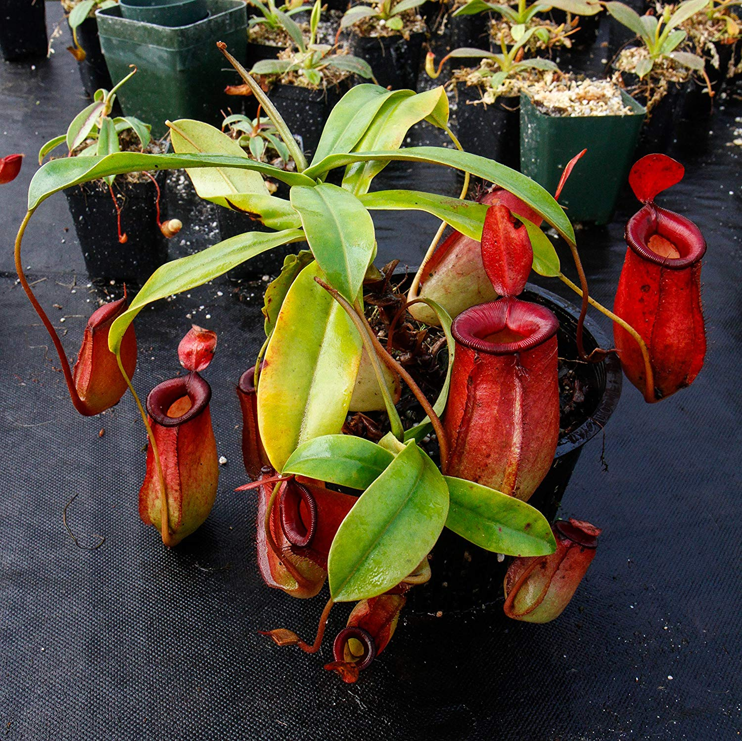 Nepenthes Bonsai Flowers Herbs Carnivorous Purify Air Catch Insect 50 PCS Seeds