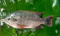Good Quality Frozen IQF Tilapia Fish 10kg 300-500g