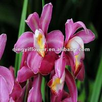 Competitive Price Decorative Plant Best Natural Orchid Plants Flowers With Fast Delivery