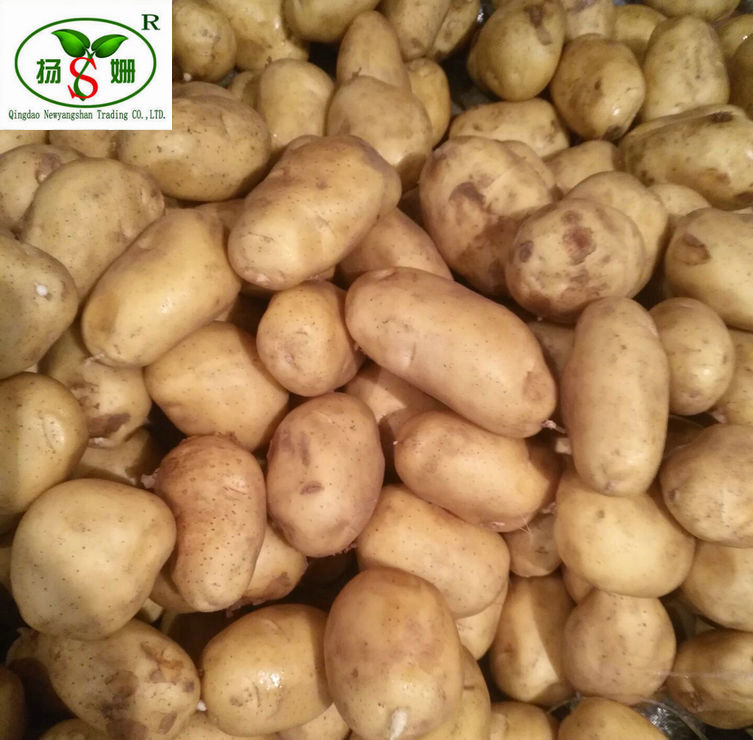 Holland Seed Potato Favored by Importers
