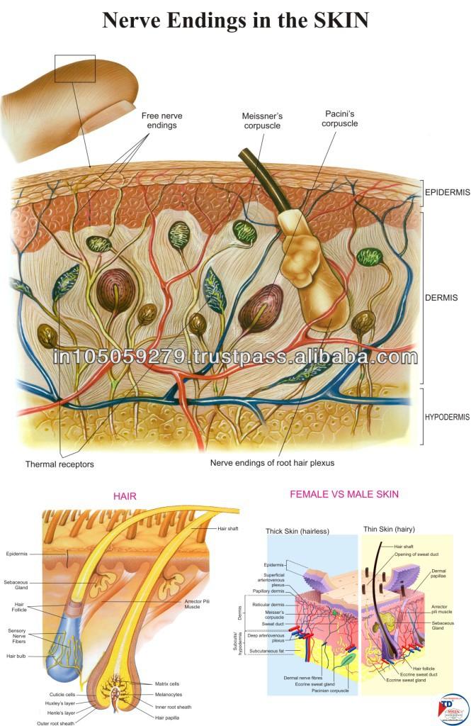 Nerve Endings In The Skin Buy Chartsskin Detailseducational