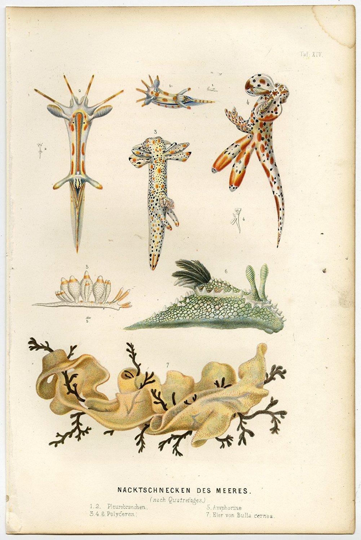 Antique Print-POLYCERA-NUDIBRANCH-SEA SNAIL-SLUG-Schleiden-1867