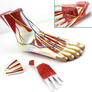 Fuß-und Sprunggelenk Muskel Anatomie Modell - Buy Muskel Anatomie ...