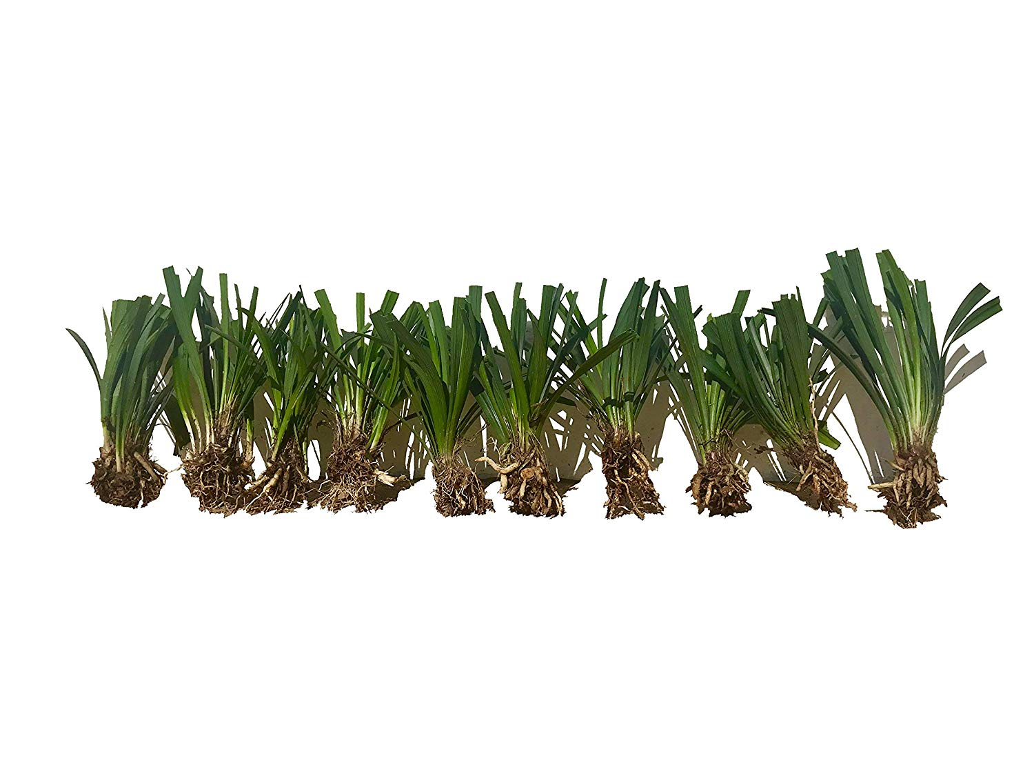 Cheap Liriope Grass Find Liriope Grass Deals On Line At Alibabacom
