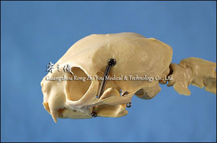 R190119 Medical Anatomical Plastic Cat Skull Model Buy Cat Skull
