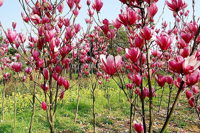 Purple Magnolia Liliiflora Seeds Mulan Tree Seeds For ...