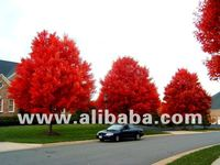 Improved red maple trees and seeds