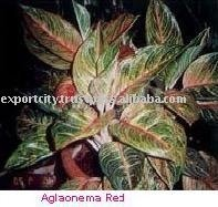 Aglaonema Red Ornamental Plant, tropical exotic plant