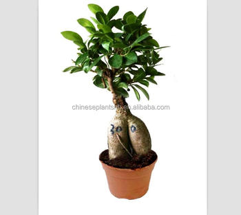 300g Ginseng Grafted Ficus Bonsai Ginseng Ficus Bonsai Trees Live