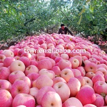 2017 red qinguan apples fresh fruits exporters