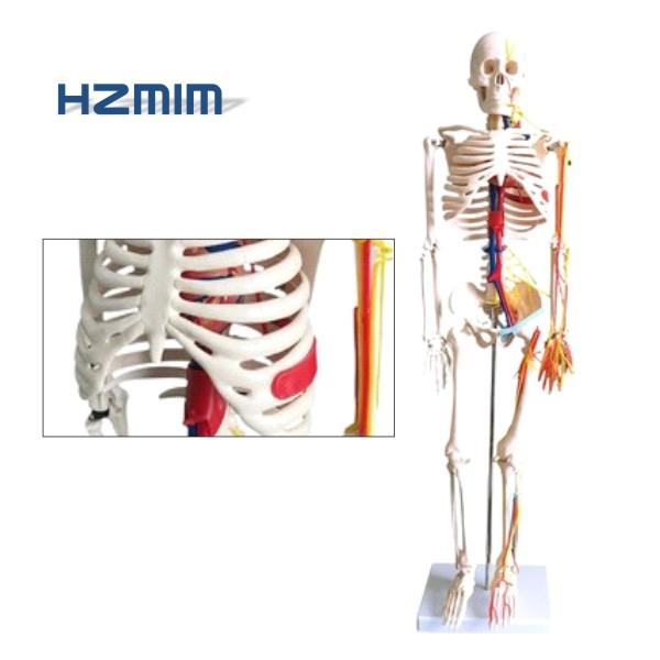 colored human life size skeleton model, anatomy skeleton, human plastic skeleton