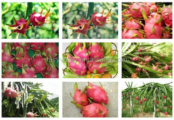 Growing tropical fruit seeds growing red white dragon fruit seeds growing tropical fruit seeds growing red white dragon fruit seeds mightylinksfo
