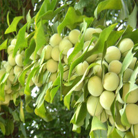 High Quality Ginkgo biloba seed for sowing