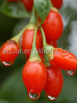 chinese certified organic goji berry extract 50% Polysaccharides