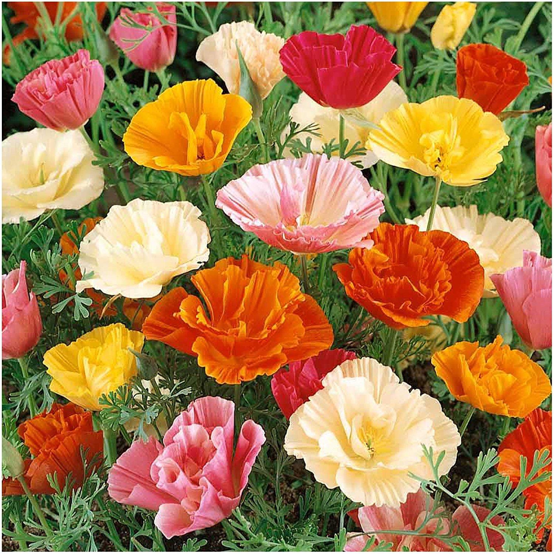 Цветы джараш купить