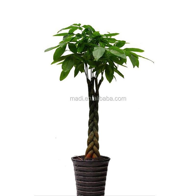 china tropen pflanzen dekorative geld baum f r haus. Black Bedroom Furniture Sets. Home Design Ideas