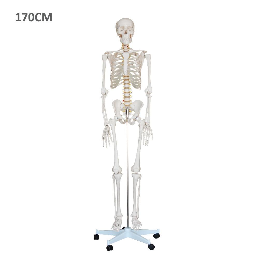 Großhandel skelett modell anatomie Kaufen Sie die besten skelett ...