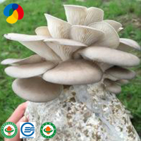 Natural sawdust substrate growing oyster mushroom spawn