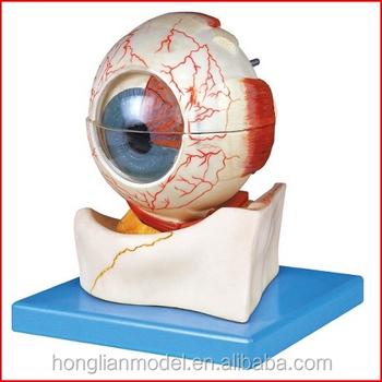 Gda17103 Eyeball Structure Anatomical Model7 Parts Anatomical