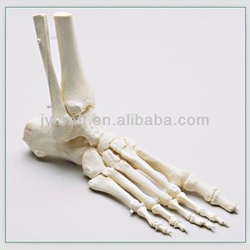 Life Size Foot Bone Human Skeleton Model - Buy Human Skeleton Model ...