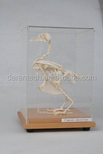 Plastic animal skeleton model for teaching