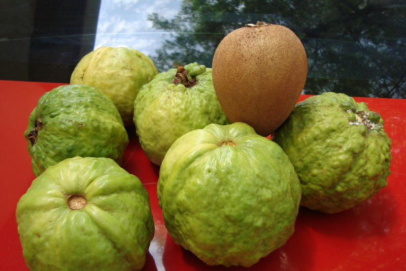 guava plant images,photos & pictures on Alibaba