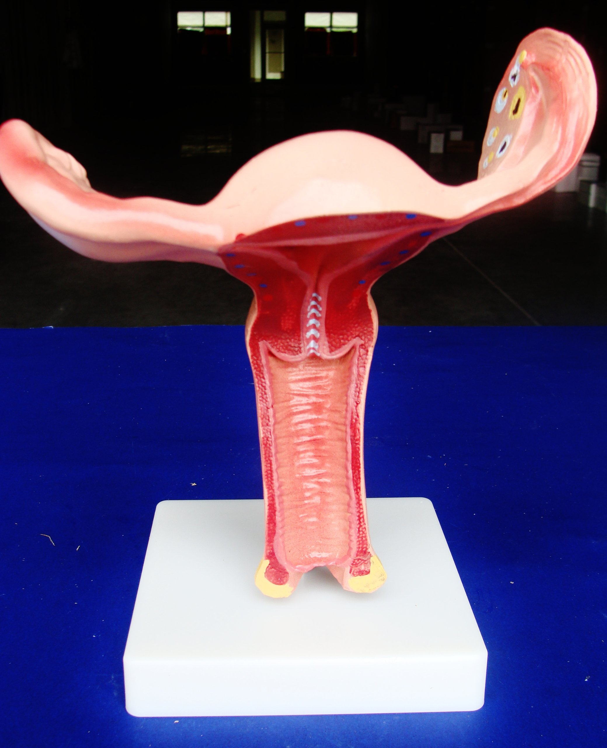 Cheap Uterus Anatomy, find Uterus Anatomy deals on line at Alibaba.com