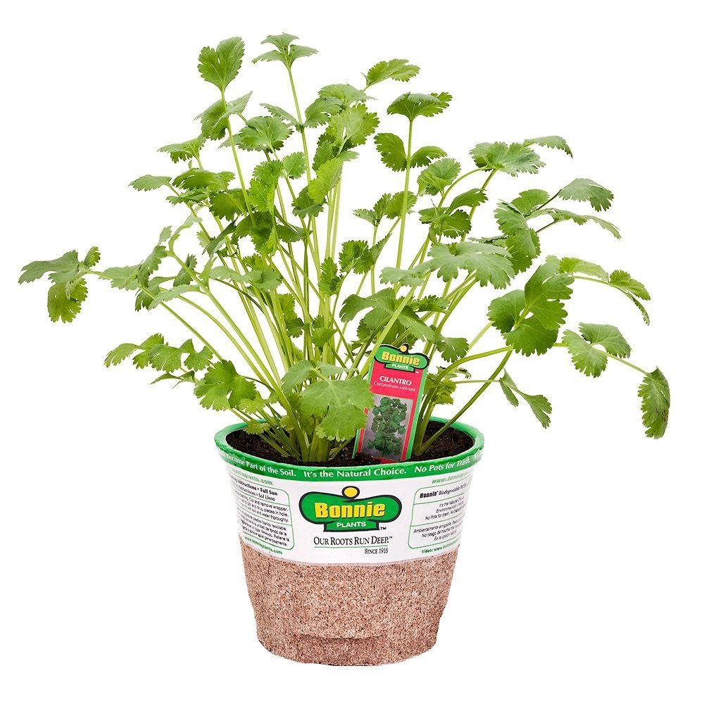 Cheap Small Herb Plants Find Small Herb Plants Deals On Line At Alibaba Com