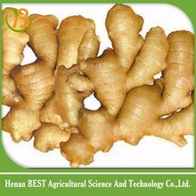 Buy new chinese mature ginger/specification fresh ginger