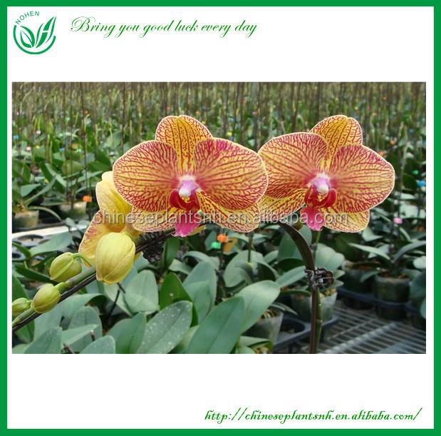 phalaenopsis graines d 39 orchid es usines bois es id de produit 60327542128. Black Bedroom Furniture Sets. Home Design Ideas