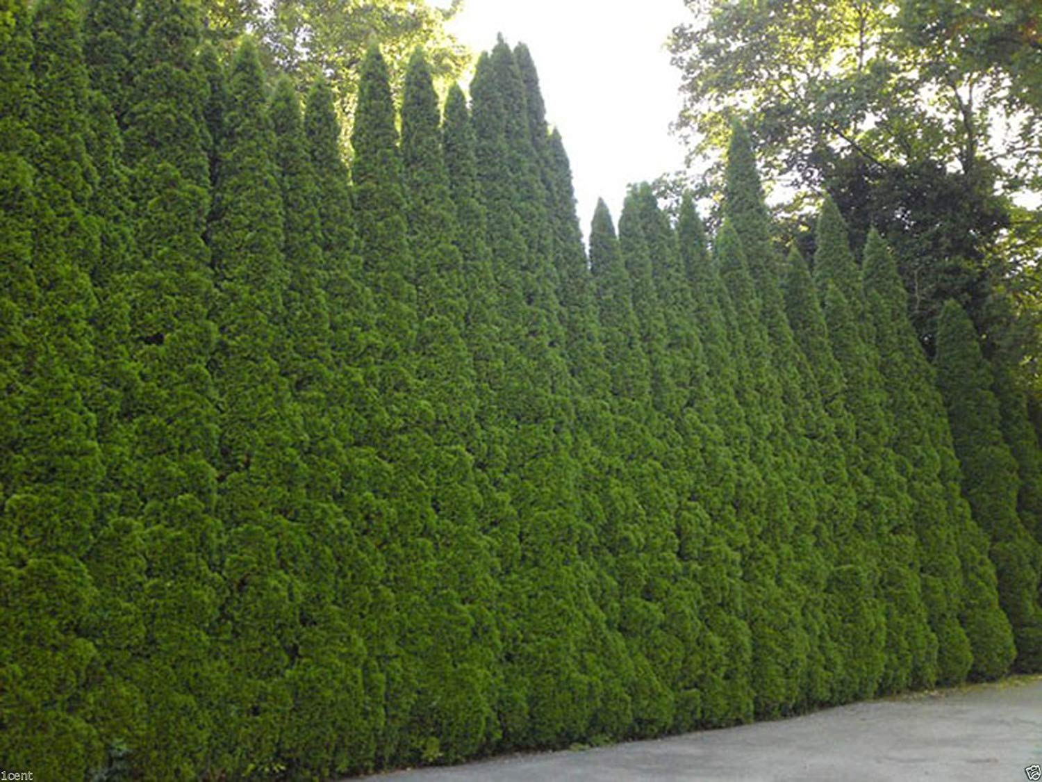 Cheap Emerald Green Arborvitae Seeds Find Emerald Green