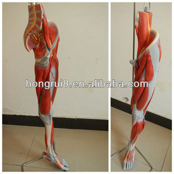 Iso Deluxe Anatomical Model Of Leg Muscles With Main Vessels And